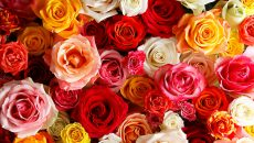 アフリカローズの薔薇1