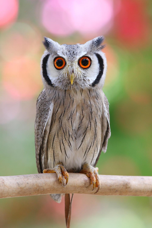 アフリカオオコノハズク(擬態前)※→写真提供:掛川花鳥園