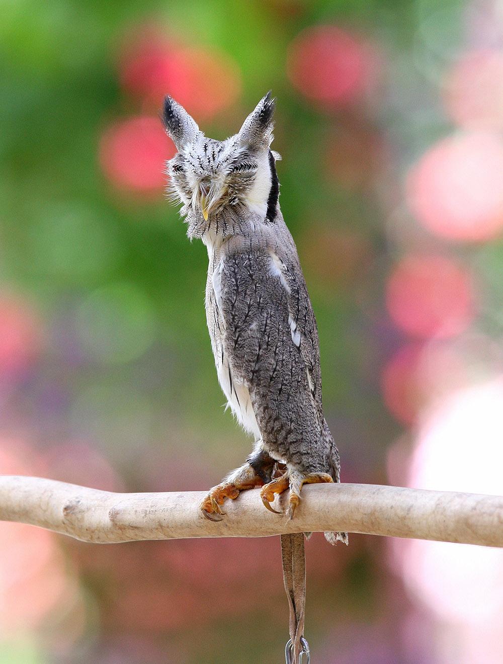 アフリカオオコノハズク(擬態後)※写真提供:掛川花鳥園